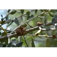 Dissuasore BioDinamico per la Rogna dell'ulivo - 1 lt