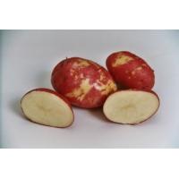 Patata RED KING EDWARD BIO