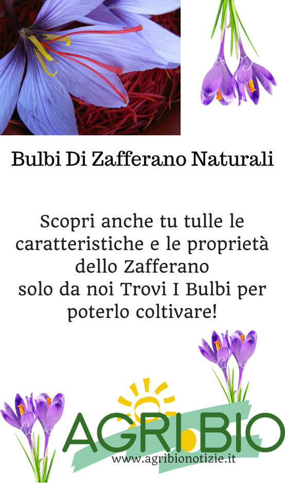 bulbi di zafferano