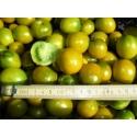POMODORO GREEN GRAPE - SATIVA to18