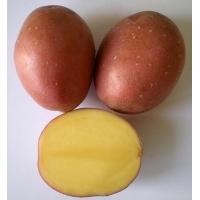 Patata LAURA pezzatura 35/50