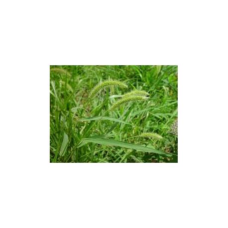 Dissuasore per Setaria viridis- 1L