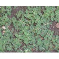 Dissuasore BioDinamico per Euphorbia Maculata - 1L