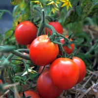 POMODORO AMPELTOMATE HIMBEER FARBIGE - SATIVA to44