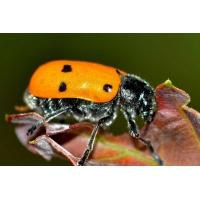 Dissuasore BioDinamico per Lachnaia italica - 1 lt