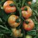 Dissuasore BioDinamico per la peronospora del pomodoro- 1 lt