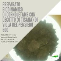 500 CORNOLETAME CON DECOTTO ( O TISANA) DI VIOLA DEL PENSIERO