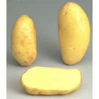Patata SPUNTA 35/55S