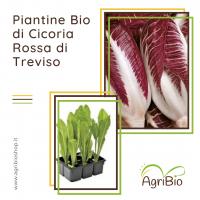 VASCHETTA DI PIANTINE BIO DI CICORIA ROSSA DI TREVISO (confezione da 12 piante)