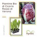 VASCHETTA DI PIANTINE BIO DI CICORIA ROSSA DI VERONA (confezione da 12 piante)