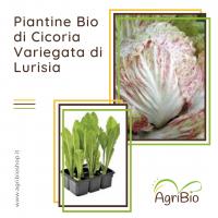 VASCHETTA DI PIANTINE BIO DI CICORIA VARIEGATA DI LURISIA (confezione da 12 piante)