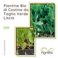 VASCHETTA DI PIANTINE BIO DI COSTINA DA TAGLIO VERDE LISCIA (confezione da 12 piante)