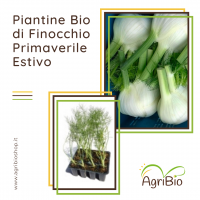 VASCHETTA DI PIANTINE BIO DI FINOCCHIO PRIMAVERILE/ESTIVO (confezione da 12 piante)