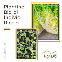VASCHETTA DI PIANTINE BIO DI INDIVIA RICCIA (confezione da 12 piante)