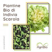 VASCHETTA DI PIANTINE BIO DI INDIVIA SCAROLA (confezione da 12 piante)