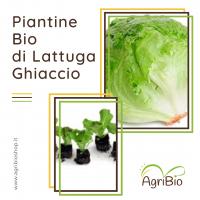 VASCHETTA DI PIANTINE BIO DI LATTTUGA GHIACCIO (confezione da 12 piante)