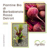 VASCHETTA DI PIANTINE BIO DI BARBABIETOLA ROSSA DETROIT (confezione da 12 piante)