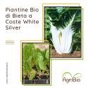 VASCHETTA DI PIANTINE BIO DI BIETA A COSTE BIANCA (confezione da 12 piante)