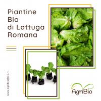 VASCHETTA DI PIANTEINE BIO DI LATTUGA ROMANA (confezione da 12 piante)