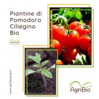 VASCHETTA DI PIANTINE BIO DI POMODORO CILIEGINO (confezione da 4 piante)