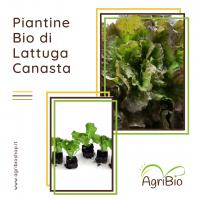 VASCHETTA DI PIANTINE BIO DI LATTUGA CANASTA (confezione da 12 piante)