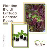 VASCHETTA DI PIANTINE BIO DI LATTUGA CANASTA ROSSA (confezione da 12 piante)