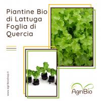 VASCHETTA DI PIANTINE BIO DI LATTUGA DI FOGLIA DI QUERCIA (confezione da 12 piante)