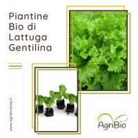VASCHETTA DI PIANTINE BIO DI LATTUGA GENTILINA (confezione da 12 piante)