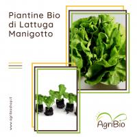VASCHETTA DI PIANTINE BIO DI LATTUGA MANIGOTTO (confezione da 12 piante)