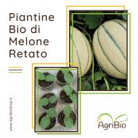 VASCHETTA DI PIANTINE BIO DI MELONE RETATO (confezione da 4 piante)