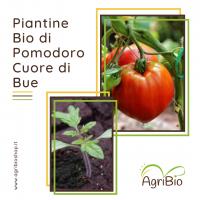 VASCHETTA DI PIANTINE BIO DI POMODORO CUORE DI BUE (confezione da 4 piante)