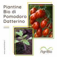 VASCHETTA DI PIANTINE BIO DI POMODORO DATTERINO (confezione da 4 piante)