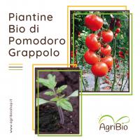 VASCHETTA DI PIANTINE BIO DI POMODORO GRAPPOLO (confezione da 4 piante)