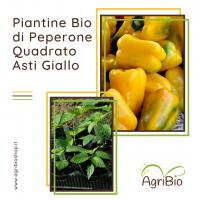 VASCHETTA DI PIANTINE BIO DI PEPERONE QUADRATO D'ASTI GIALLO (confezione da 4 piante)