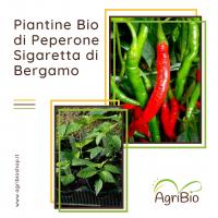 VASCHETTA DI PIANTINE BIO DI PEPERONE SIGARETTA DI BERGAMO (confezione da 4 piante)