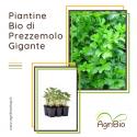 VASCHETTA DI PIANTINE BIO DI PREZZEMOLO GIGANTE D'ITALIA (confezione da 12 piante)