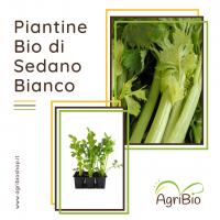 VASCHETTA DI PIANTINE BIO DI SEDANO BIANCO (confezione da 6 piante)