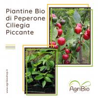 VASCHETTA DI PIANTINE BIO DI PEPERONE CILIEGIA PICCANTE (confezione da 4 piante)