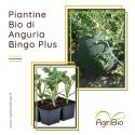 VASCHETTA DI PIANTINE BIO DI ANGURIA BINGO PLUS (confezione da 4 piante)