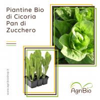 VASCHETTA DI PIANTINE BIO DI CICORIA PAN DI ZUCCHERO (confezione da 12 piante)