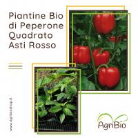 VASCHETTA DI PIANTINE BIO DI PEPERONE QUADRATO D'ASTI ROSSO (confezione da 4 piante)