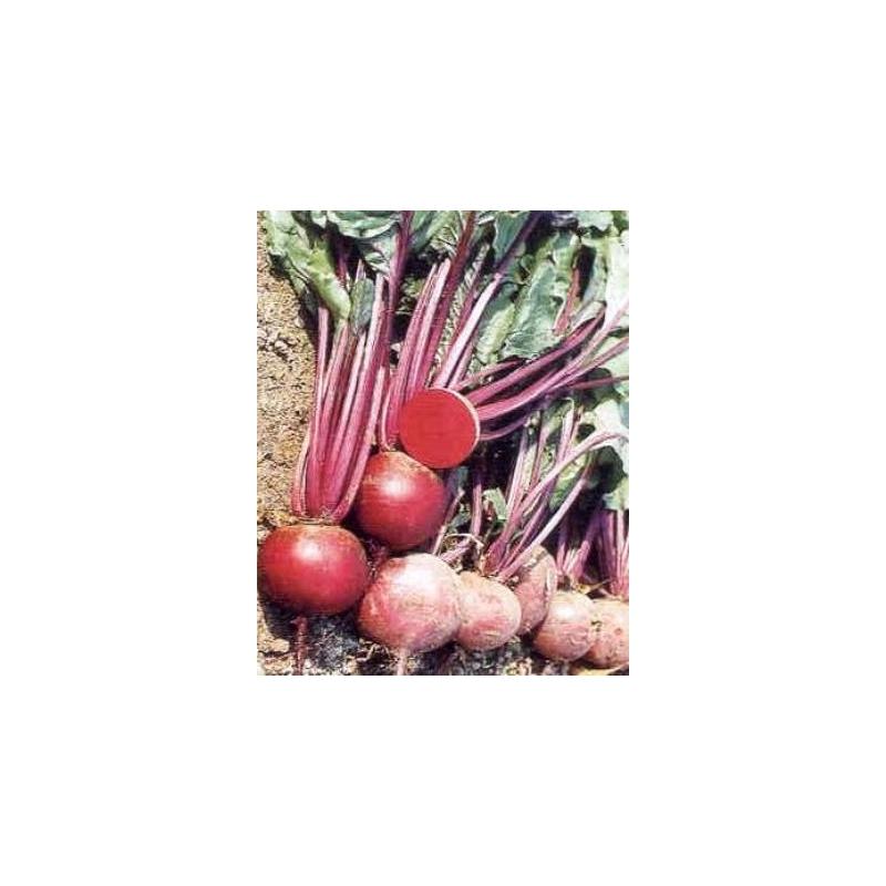 circa 100 semi 17140 Beta vulgaris Bio ROSSA va prorogato /'Detroit 2/' Rossi prega//aiuole